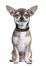 Dog ( Chihuahua ) Looking At T...
