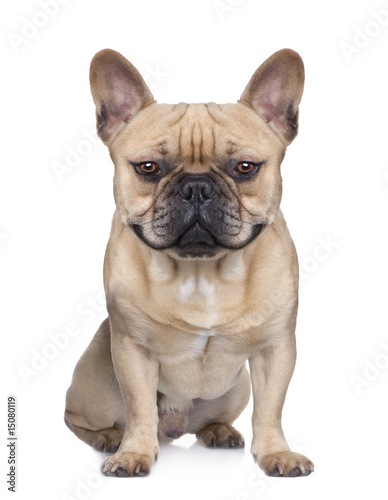 Poster Bouledogue français French Bulldog (1 year) (Digital enhancement)