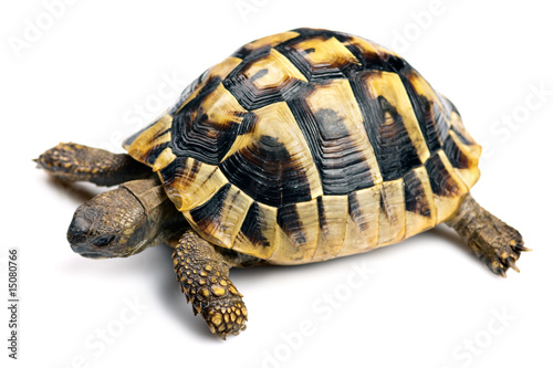 Poster Tortue Tortoise