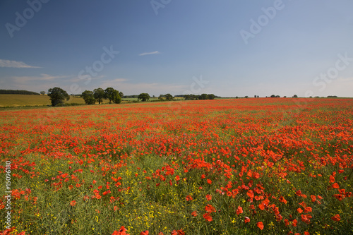 Fototapeta Field of Poppies