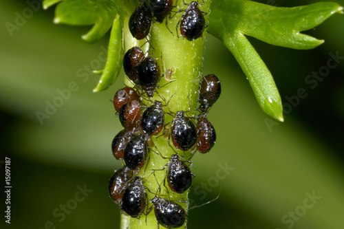 Photo aphis fabae, black bean aphid