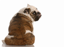 English Bulldog Sitting With Backside To The Camera..