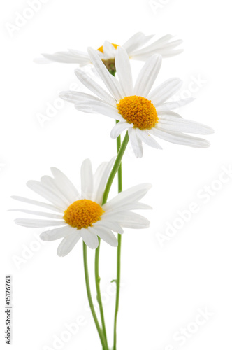 Fotografie, Obraz  Daisies on white background