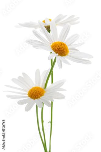 Foto-Duschvorhang - Daisies on white background