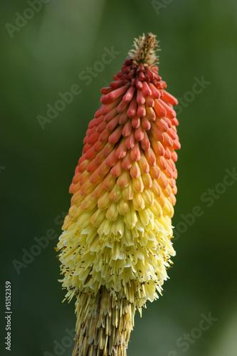 der Blütenkolben - 15152359