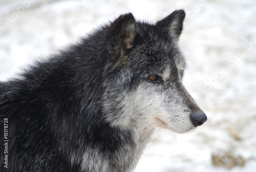 Canvas Prints Wolf Wolf Picture