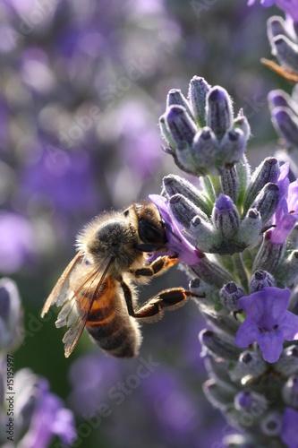 Foto op Canvas Lavendel Abeille dans la lavande