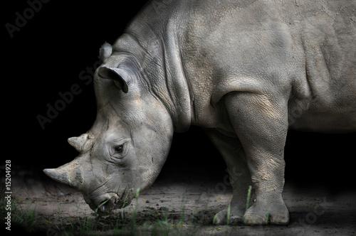Poster Rhino Rhinoceros Bending Down To Eat