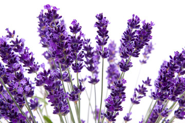 macro view of lavender on white background