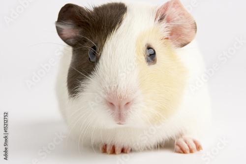 Foto-Schiebevorhang (ohne Schiene) - Guinea Pig Against White Background (von Monkey Business)