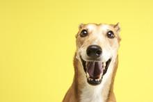 Portrait Of Pet Greyhound