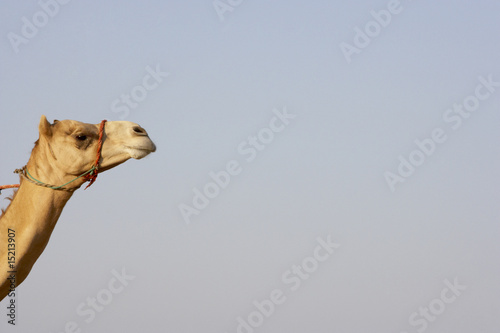 Fototapety, obrazy: Detail Of Camel Head