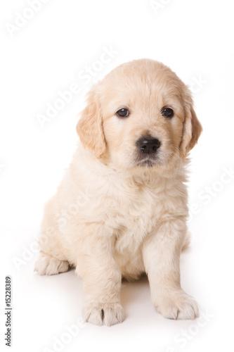Foto-Schiebevorhang (ohne Schiene) - Golden retriever puppy on white background (von Dixi_)