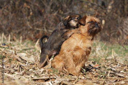 Photographie  chiot griffon bruxellois désirant jouer avec un adulte - parent