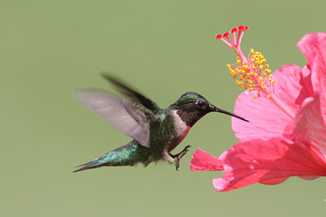 FototapetaRuby-throated Hummingbird