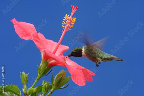 Sticker - Ruby-throated Hummingbird