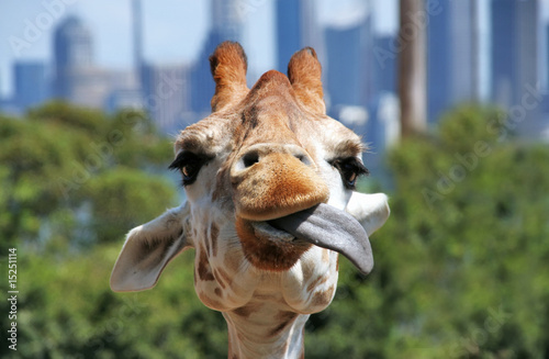 Yummy. Giraffe playing with its tongue. Close up of it's head.