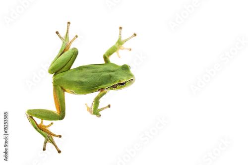 Fotografía Tree frog