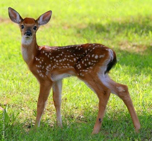 Photo Spotted Fawn