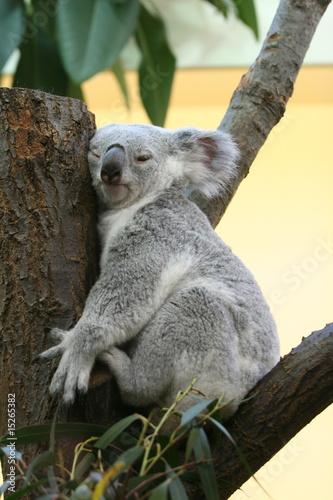 Garden Poster Koala Koala