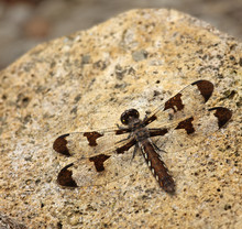 Common Whitetail Dragonfly (Pl...