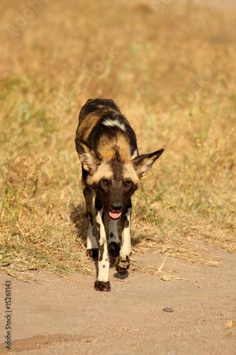 Foto op Plexiglas Leeuw Wild dogs in South Africa