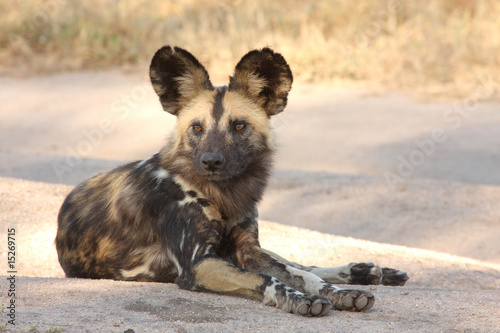 Photo  Wild dogs in South Africa