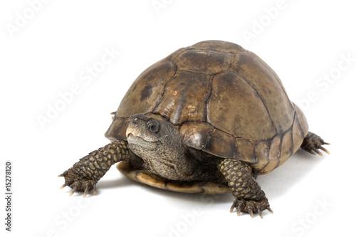 Tortue Coahuilan Box Turtle