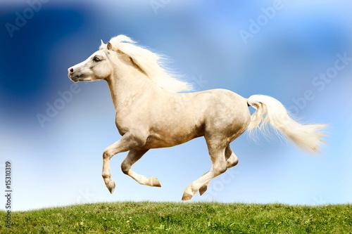 Foto-Kissen - palomino horse galloping (von Mari_art)