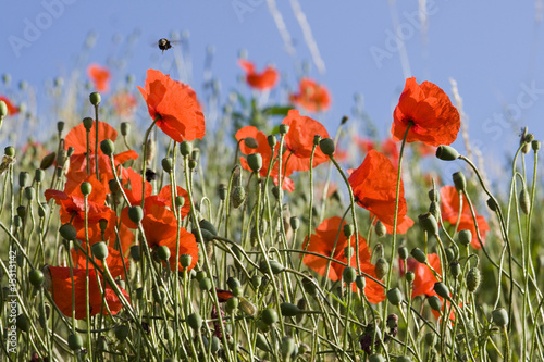 Aluminium Prints Flower shop red poppy