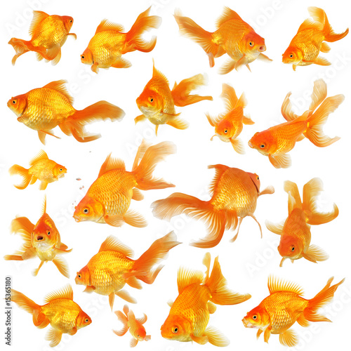 Fotografie, Tablou Collage of beautiful fantail goldfish
