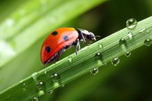 Ladybug Running Along The Gree...