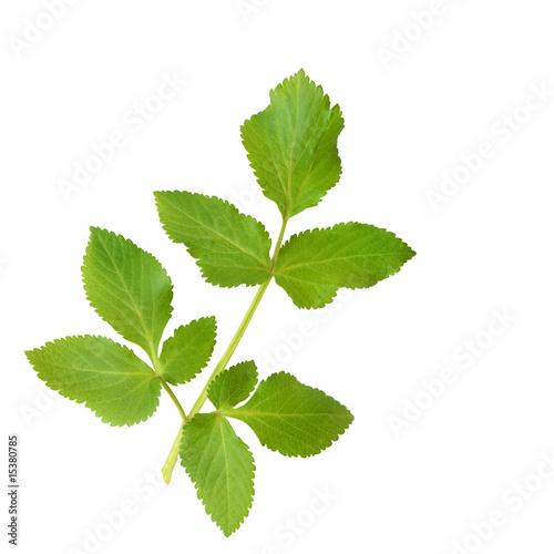 Canvastavla  Angelica Herb Leaf Sprig