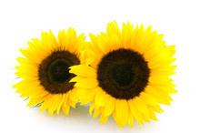 Two Sunflowers Isolated On White Background