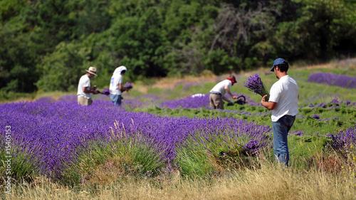 Fotobehang Lavendel travail de la lavande