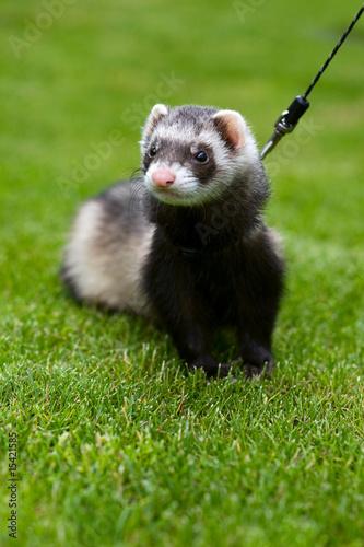 Fotografering  Pet - ferret