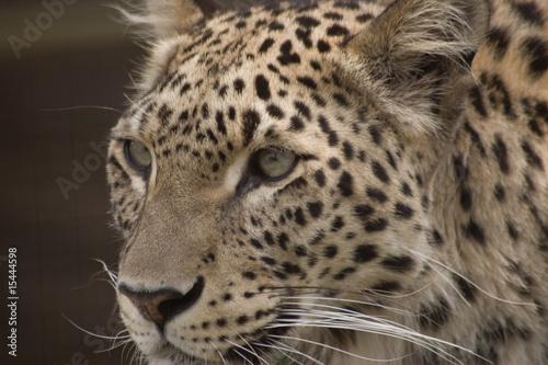 Foto auf Leinwand Leopard White Leopard