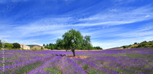 Photo Stands Lavender l'arbre dans la lavande
