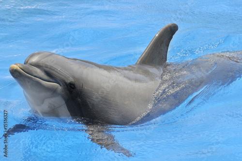 Photo sur Aluminium Dauphin Gros plan d'un grand dauphin dans l'eau bleue