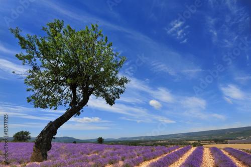Montage in der Fensternische Lavendel arbre tout seul dans les lavandes