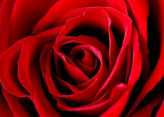 Fototapeta rose of love