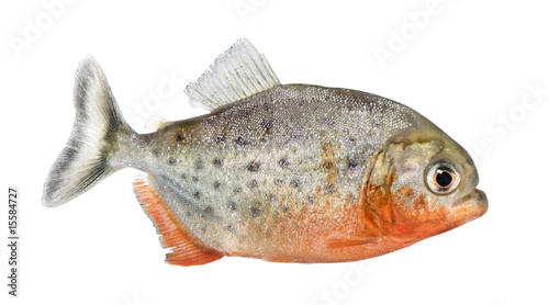 Photo  side view on a Piranha fish - Serrasalmus nattereri