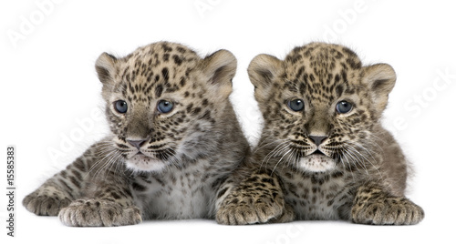 Photo Stands Leopard Persian leopard Cub (6 weeks)