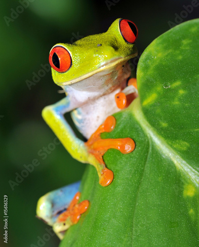 Spoed Foto op Canvas Kikker red eyed green tree frog looking, costa rica