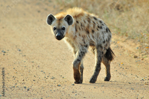 Canvas Prints Hyena Spotted Hyena