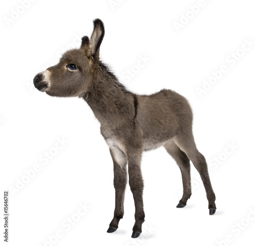 Poster Ezel donkey foal (2 months)