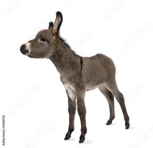 Spoed Foto op Canvas Ezel donkey foal (2 months)