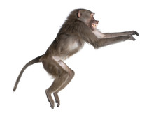Side View Of A Baboon Jumping ...