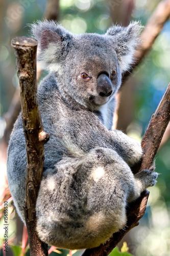Garden Poster Koala Koala bear sitting in a tree