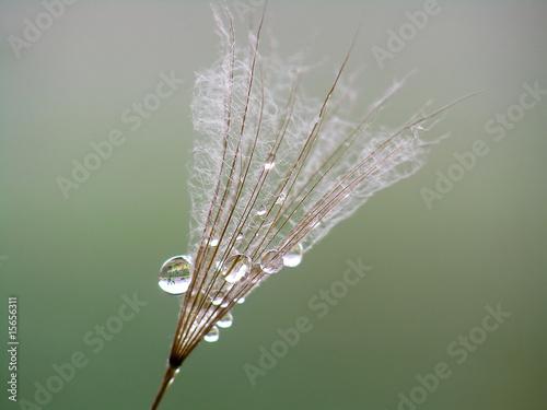 Canvas Prints Dandelions and water water drop on dandelion seed
